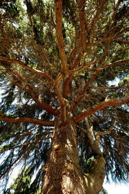 Cedars of Lebanon-2